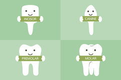 Tooth type - incisor, canine, premolar, molar. Dental cartoon vector, tooth type - incisor, canine, premolar, molar Royalty Free Stock Images