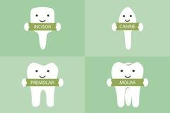 Tooth type - incisor, canine, premolar, molar. Dental cartoon vector, tooth type - incisor, canine, premolar, molar royalty free illustration