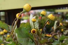 Toothache roślina Obrazy Royalty Free