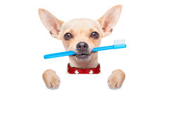 Toothbrush dog. Chihuahua dog holding a toothbrush with mouth behind blank banner or placard, isolated on white background royalty free stock image