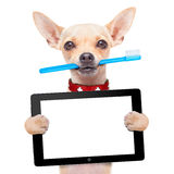 Toothbrush dog. Chihuahua dog holding a toothbrush with mouth holding a blank pc computer tablet touch screen, isolated on white background stock photos