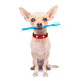 Toothbrush dog Royalty Free Stock Photo