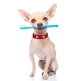 Toothbrush dog Stock Image