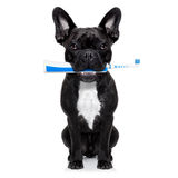 Toothbrush dog. French bulldog dog holding electric toothbrush with mouth , isolated on white background royalty free stock photos