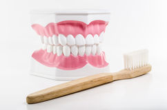 Toothbrush and jaw model on white background Royalty Free Stock Photos