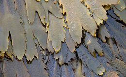 Toothed разрушайте морскую водоросль Стоковые Фото