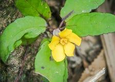 Toothed guinea flower, Hibbertia dentata. Trailing Toothed Guinea Flower on a tree trunk Stock Images