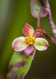 Toothed guinea flower, Hibbertia dentata Royalty Free Stock Photo