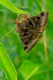 Toothed Somberwing Moth. Perched on a flower& x27;s stem Stock Photography
