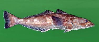 Toothfish Patagonian immagini stock