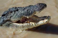 Toothless crocodile Stock Photography