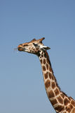 Toothpick de Giraffee Photos libres de droits