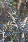 Toothpick grasshopper Stock Image