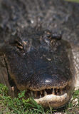 Toothy Royaltyfri Fotografi