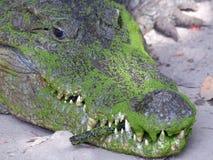 Toothy. Algae-encrusted crocodile at Kachikally Sacred Pond in Bakau, Gambia Stock Photos