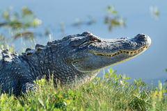 Toothy Alligator. A smiling and toothy alligator on the shore of a swamp Stock Photography