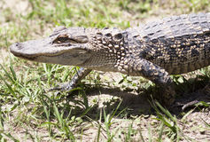 Toothy Grin. Sharp focus on a cheerful alligator as it strolls peacefully across the grass royalty free stock photography