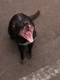 Toothy jaws of Tasmanian devil Royalty Free Stock Images