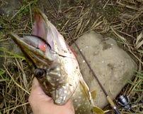 toothy rovdjurs- flodpik royaltyfria foton