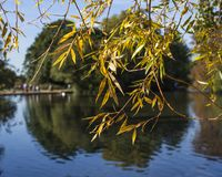 Tooting Commons - a sunny day by the pond; reflection through branches with yellow leaves. This image shows a pond in a park in Tooting, London. It was taken in royalty free stock images