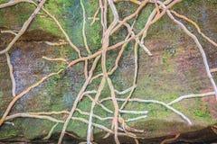 Toots орхидеи предусматривают камень с зеленой мшистой предпосылкой Запутанный ба стоковое изображение