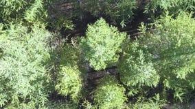 Top abajo de la imagen aérea del abejón de un bosque de hojas caducas y conífero mezclado verde enorme almacen de video