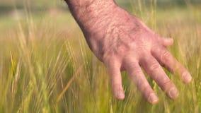 Top adulto mayor de Hand Feeling The del granjero de un campo de la cosecha de la cebada en la puesta del sol Agricultura que cos metrajes