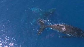 Top aerial 4k view of three cute big blue ocean whales swimming deep under water. Top aerial view of three cute big blue ocean whales swimming deep under water stock video