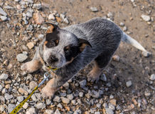 Top angle shot of a pup with a leash tied around its neck. Top angle shot of a pup being pulled with the help of the yellow leash tied around its neck Stock Image