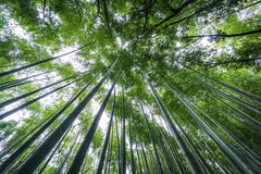 Top of The Arashiyama Bamboo Grove of Kyoto, Japan. Royalty Free Stock Images
