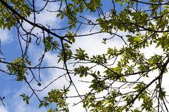 Ash tree, spring. Top of an ash tree with foliage during flowering in spring time, closeup royalty free stock photo