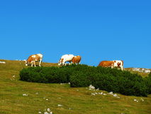 Top Austria Alps, cows at the top of the hill Royalty Free Stock Images