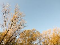 Top of autumn tree branches in blue sky landscape Royalty Free Stock Photos