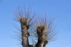 Top of bare tree Stock Image