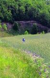Top beskådar Ett bondeanseende i hans vetefält på solnedgången Han håller ögonen på hans skördar Fotografering för Bildbyråer