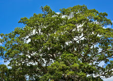 Top of the big tree under  blue sky Stock Photos