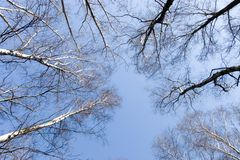 Top of birches and blue sky Royalty Free Stock Photography
