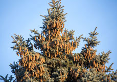Top of blue fir tree with lots of cones Royalty Free Stock Image
