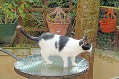 Top Cat Fotografia de Stock Royalty Free