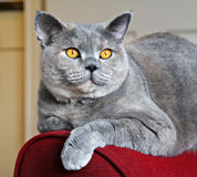 Top cat pose. Beautiful pedigree british shorthair cat posing on arm of chair Stock Images