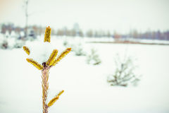 The top of the Christmas tree in snow Royalty Free Stock Images