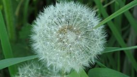 Close up view of a ripe white dandelion in its natural habitat on blurred green background. Top close up view of a ripe white dandelion in its natural habitat stock images
