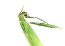 Top closed corncob. Stock Photo