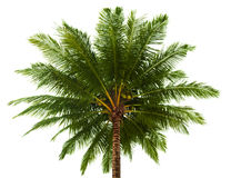 Top of the coconut palm isolated on white Stock Photos