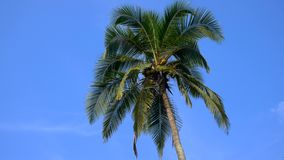 Top of coconut palm tree with blue sky background