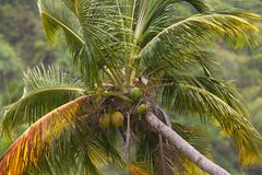 The top of a coconut palm tree Stock Photos