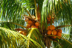 Top of coconut palm tree, Miami Beach Royalty Free Stock Photos