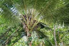 The top of the coconut palm tree Royalty Free Stock Image