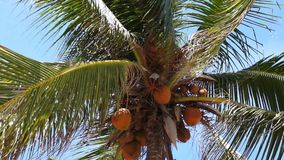 Top of Coconut Palm Tree stock video