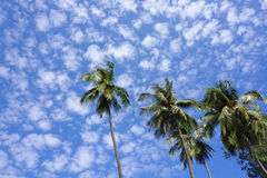 Top of coconut palm trees Stock Image